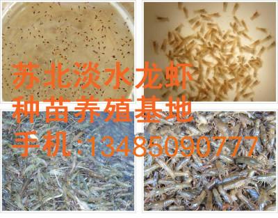 如何养好小龙虾稻田养殖小龙虾技术