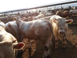忻州市兴牧西门塔尔牛场