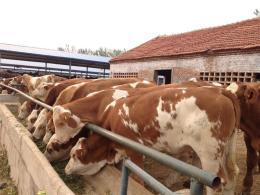 山西省忻州市兴牧西门塔尔牛养殖场