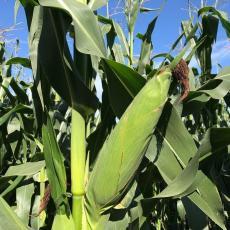白軸大棒玉米種子LYD9901