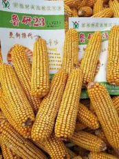 高产玉米种子鲁研23