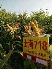 高产玉米新品种高产玉米种子士海718
