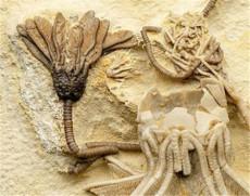 海百合化石的现如今市场价值