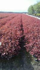 西安绿化工程小苗千亩苗木基地