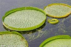 王莲睡莲科属植物太空莲种苗批发零售