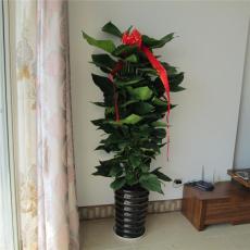 花卉出租北京花卉销售北京花卉出租公司