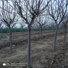 樱花树基地畅购无忧好货价低樱花树价格