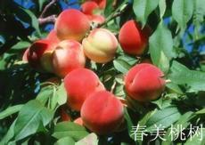 优质早熟春美桃树苗