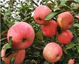 矮化苹果苗价格