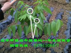 米易核桃树苗,攀枝花核桃树苗,四川核桃树