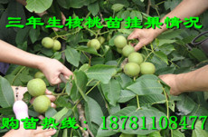 荣县核桃树苗,富顺核桃树苗,自贡核桃树苗