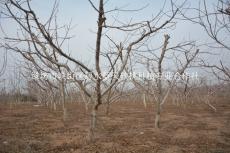 胶州占地桃树苗占地核桃苗可作为绿化树