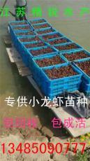 春季小龙虾苗价格春季哪里有小龙虾苗卖