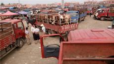 河北黃牛市場面向全國提供西門塔爾肉牛