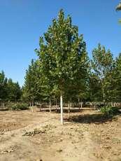 供8公分速生法桐价格9公分速生法桐树价格