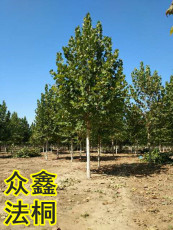 供15公分速生法桐樹價格18公分速生法桐樹價