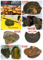 如何鉴别桑树桑黄和杂树黄