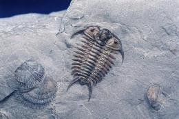 三叶虫化石到底值多少钱