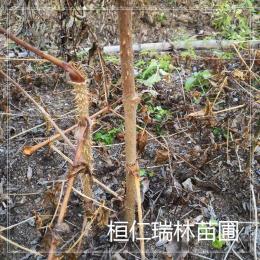 刺老包嫩刺芽树苗刺脑包种苗