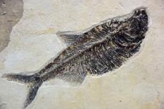 哪个时期鱼化石价格容易收购