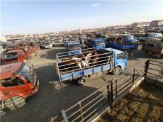河北肉牛市場供應好品種的西門塔爾肉牛犢
