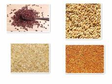陜西滕燦豆麥谷黍類種子出售