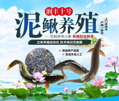 润丰10号泥鳅养殖 靠谱项目