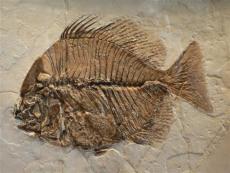 鱼化石怎么去鉴定它价格