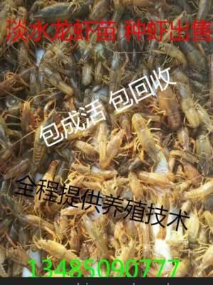 小龙虾种苗批发小龙虾养殖技术稻田如何养殖