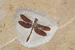 昆虫化石相关信息资料