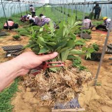 出售矮化櫻桃苗砧木吉塞拉5號6號12號砧木
