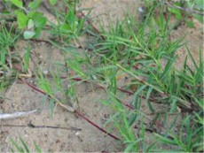 山東批發狗牙根種子  狗牙根種子種植方法