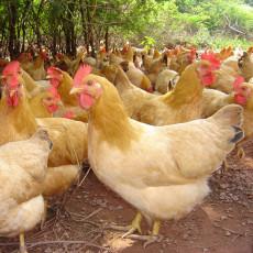 上海农家土鸡多少钱一斤上海散养土鸡价格