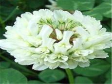 批发销售白三叶种子  白三叶种子出芽率