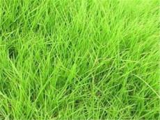 適合種植高爾夫球場草坪種子有哪些