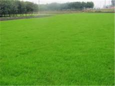 批发绿化草坪种子  山东绿化草坪种子报价