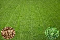 山东批发销售高羊茅种子  高羊茅种子出芽率
