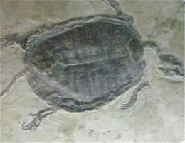 关于乌龟化石鉴定知识