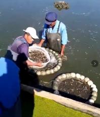 金豐9號泥鰍高產養殖技術