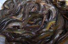 金丰9号泥鳅养殖六大确保通道不赚钱不可能