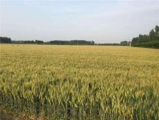 矮稈大穗小麥種子高抗病小麥品種山科麥2000