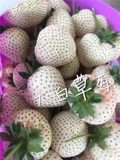 草莓中的白富美 小白草莓苗 给你初恋的感觉