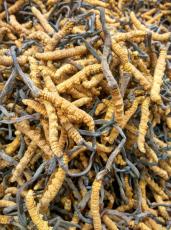 南海目前回收虫草价格崛起