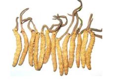 高明目前回收虫草价格崛起
