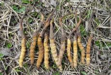 湛江目前回收虫草价格崛起