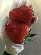 隋珠 乡野草莓苗现在多少钱一棵