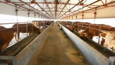 河北张家口张北肉牛销售市场西门塔尔小肉牛