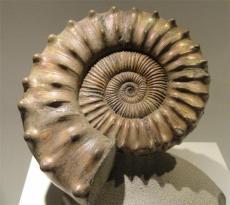法螺化石做权威结果真实吗