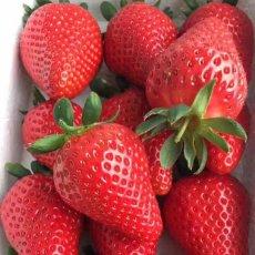 章姬草莓苗 基地直发 保证品种 价格低品质