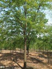 供应江苏10公分榉树最新价格